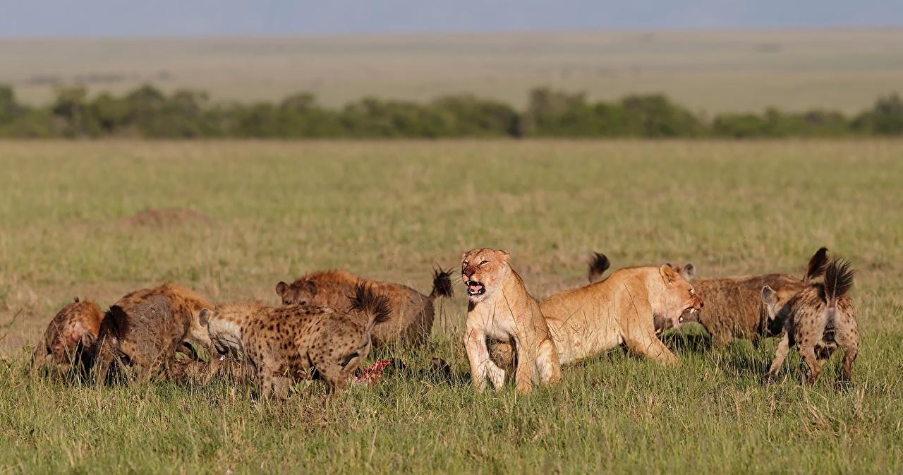 Leones, rinocerontes y leopardos pastaban y convivían en España