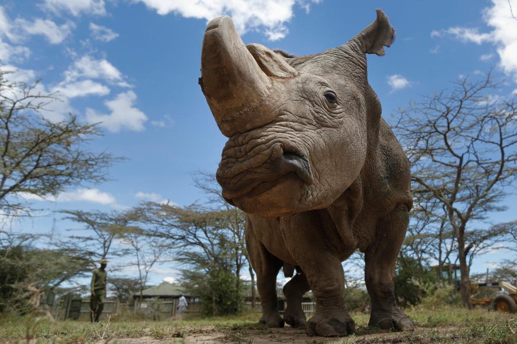 La reproducción asistida salvará al rinoceronte blanco de la extinción