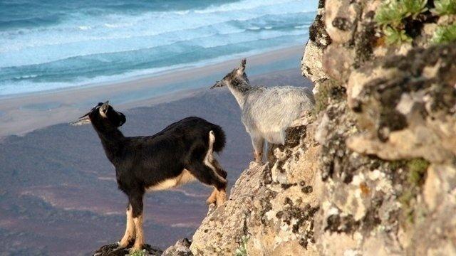 Piden deterner matanza de cabras en Gran Canaria (+Video)