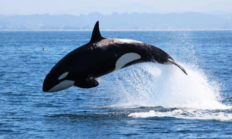 (+Video) Una inmensa ballena sorprende saltando por el océano como un delfín