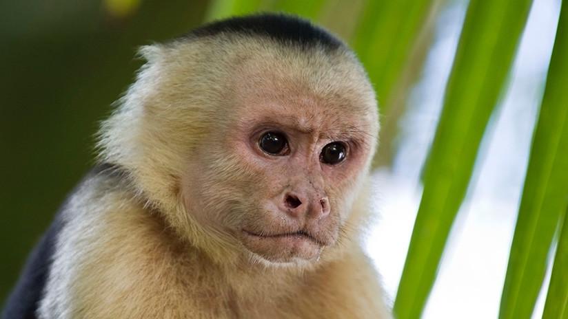 Monos capuchinos panameños inician su propia Edad de Piedra (+VIDEO)