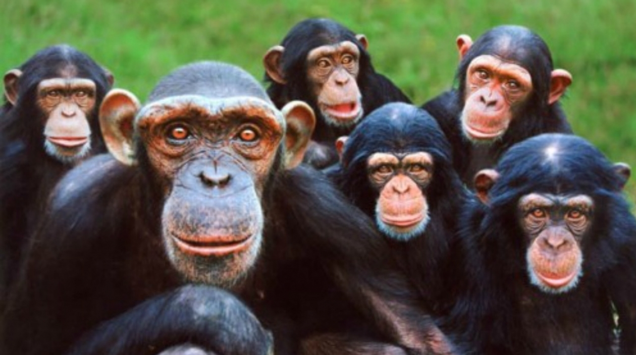 Chimpacés  «pandilleros» usan violencia para dominar territorios