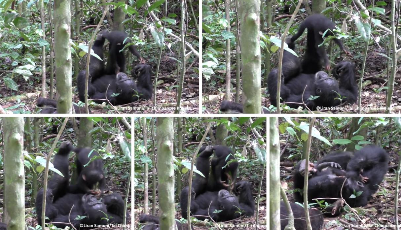 (Video) Un chimpancé juega a hacer el avión con su pequeña cría