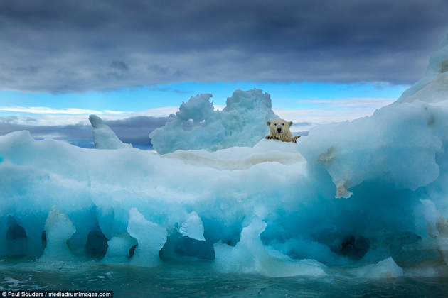 Increibles imágenes de oso polar