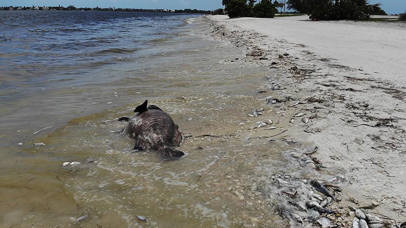 Algas tóxicas en costas de Florida causan muerte de animales marinos