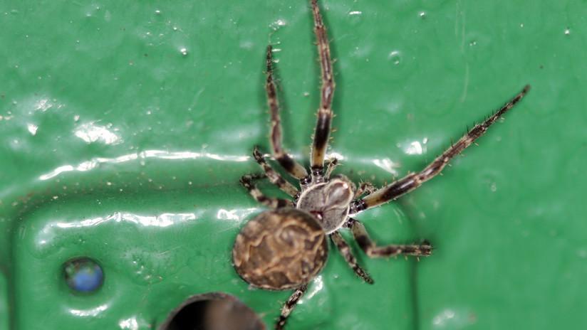 Si estas cerca de arañas lobas no uses este color o podrías sufrir un ataque