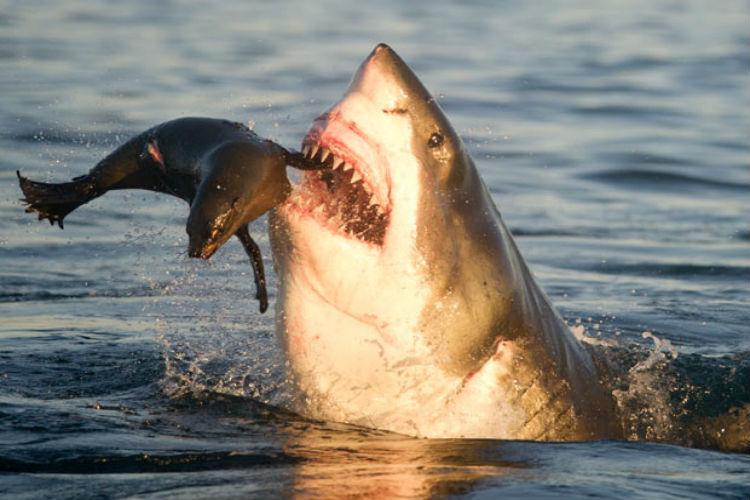 Naturaleza animal: Graban el ataque de un tiburón a una foca en EE. UU.