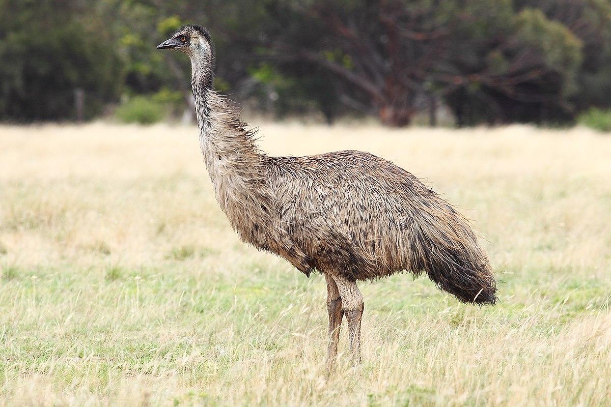 (Fotos) Emúes buscan agua en las calles de Australia por la grave sequía