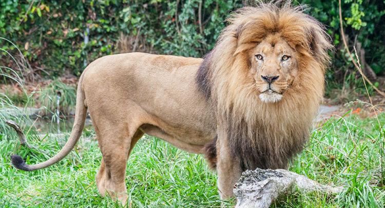 (Video) ¡Espeluznante! Un león se queda con las ganas de comerse a un niño