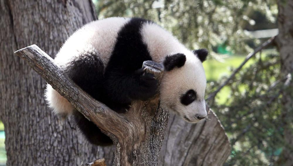 (Video) Un oso panda vs. un árbol de Navidad