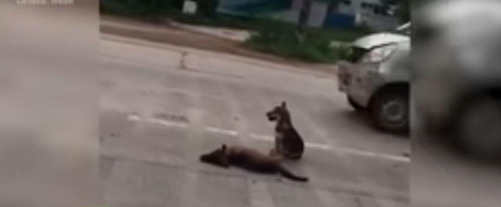 (Video) Conmovedor: Un perro cuida en plena vía el cuerpo de su amigo muerto