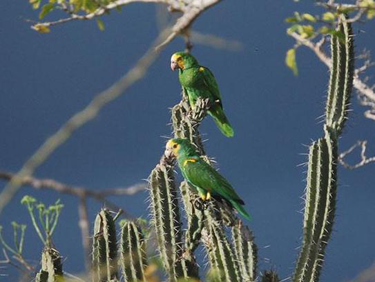 (Video) Cotorras margariteñas necesitan medidas de protección para detener su extinción