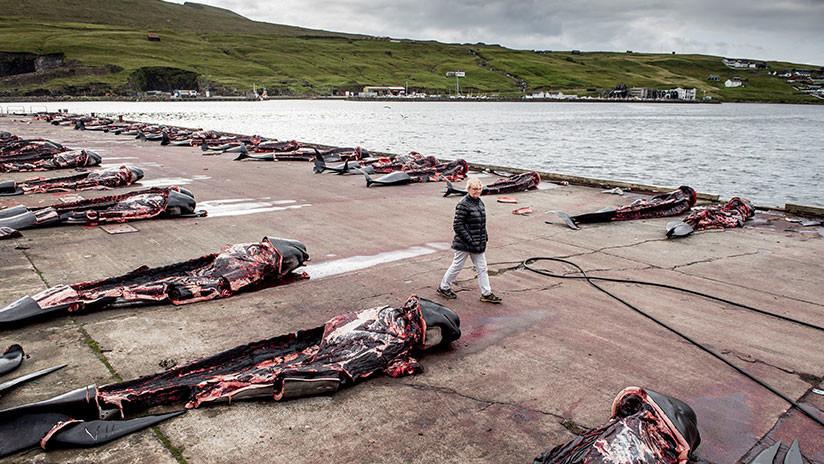(Video+Fotos) El mar se tiñó de rojo con la matanza de 180 ballenas en Dinamarca