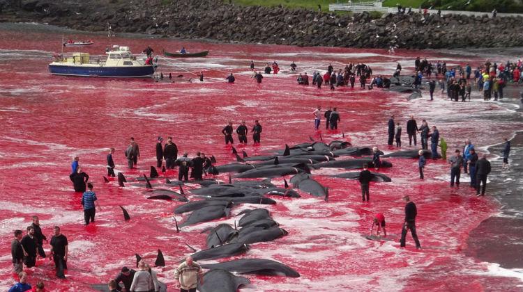 """""""El chillido de las ballenas fue horrible"""" dijo un turista que presenció la tradicional matanza en las Islas Feroe"""