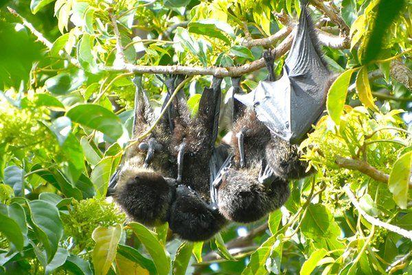 ¡En serio! Los murciélagos se ofrecen felación colectiva luego de una dura jornada de trabajo