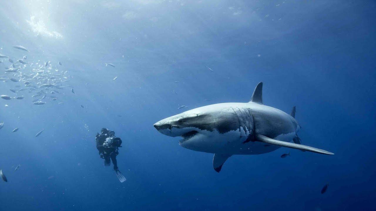 (Video) Un valiente buzo puso en riesgo su vida para salvar a un tiburón