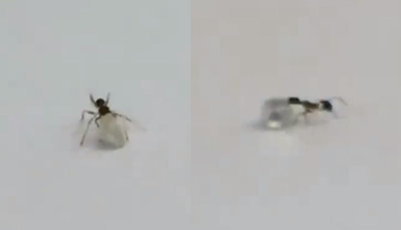 (Video) ¡Misterios del reino animal! Una hormiga es captada robando un diamante