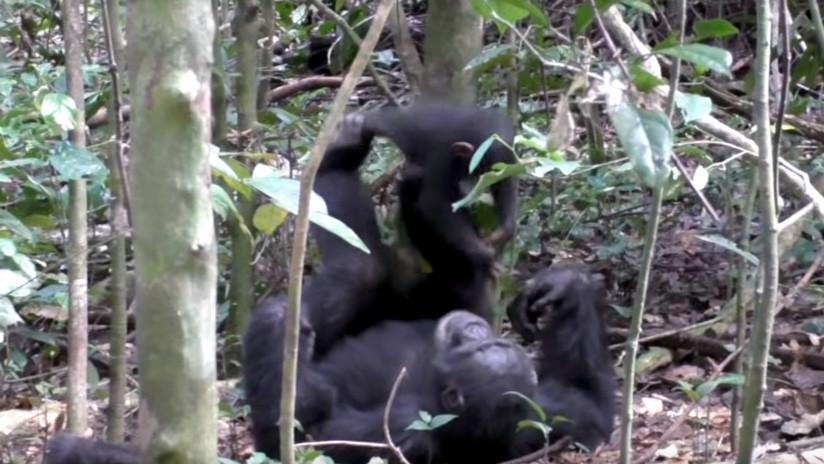 (Video) Así de tierno se ve un chimpancé mientras juega a los aviones con su cría
