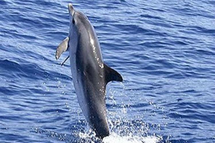 (Video) Un delfín aprende a 'caminar' sobre la superficie del agua