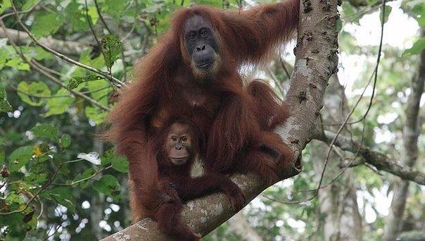 Orangutanes tapanuli gemelos en Sumatra despiertan la curiosidad científica (+VIDEO)