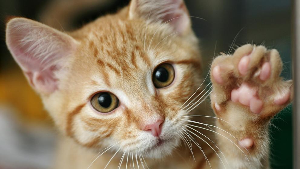 Nueva Zelanda decidirá por votación la declaración de una zona libre de gatos