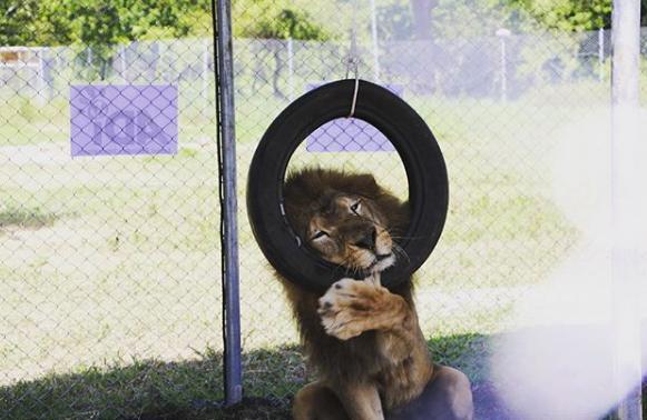 (Video) Así gozan unos leones luego de ser liberados del maltrato de un circo