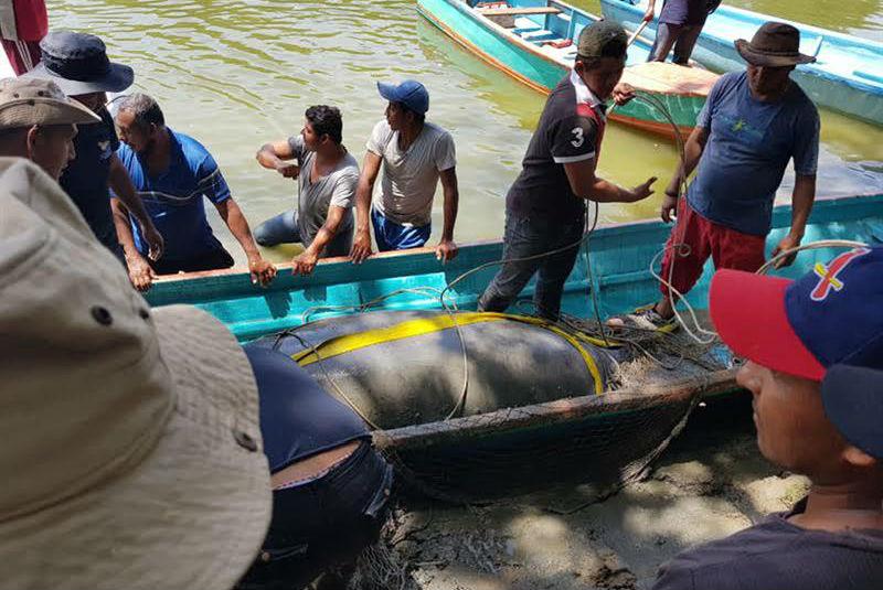 Algas tóxicas podrían ser la causa de muerte de manatíes