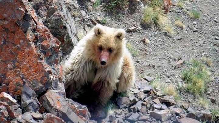 El oso Sailugem sí existe, no estaba extinto ni era un mito (+FOTOS)