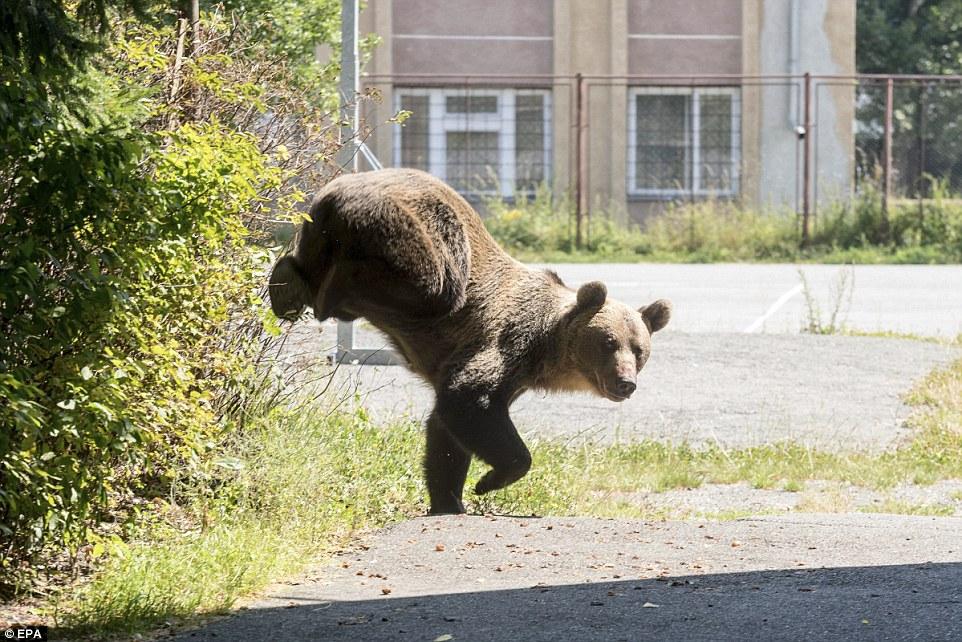 (Fotos) Asesinan a oso pardo de un disparo dentro de una escuela en Rumania