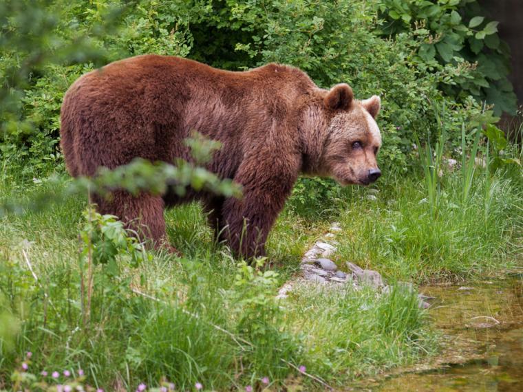 (Video) Buscan a un oso con un bidón en la cabeza para auxiliarlo