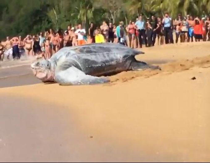 (Video) Tortuga gigantesca aparece en playa de México