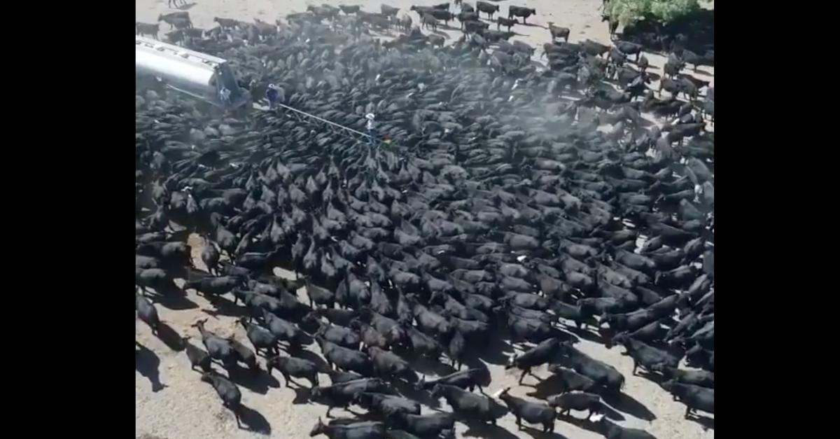 (Video) Centenares de vacas rodean un camión cisterna en busca de agua