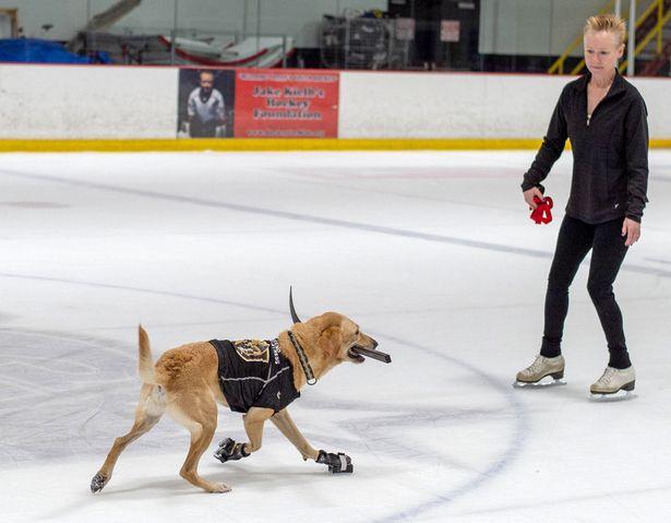 (Video+Fotos) Un perro labrador es el rey de las pistas de hielo