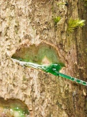 Un árbol sangra níquel para evitar ser comido por hervíboros