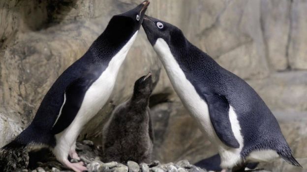 (Vídeo) Pareja de pingüinos secuestradores se roban una cría y deciden adoptarla, pero sus padres acuden al rescate