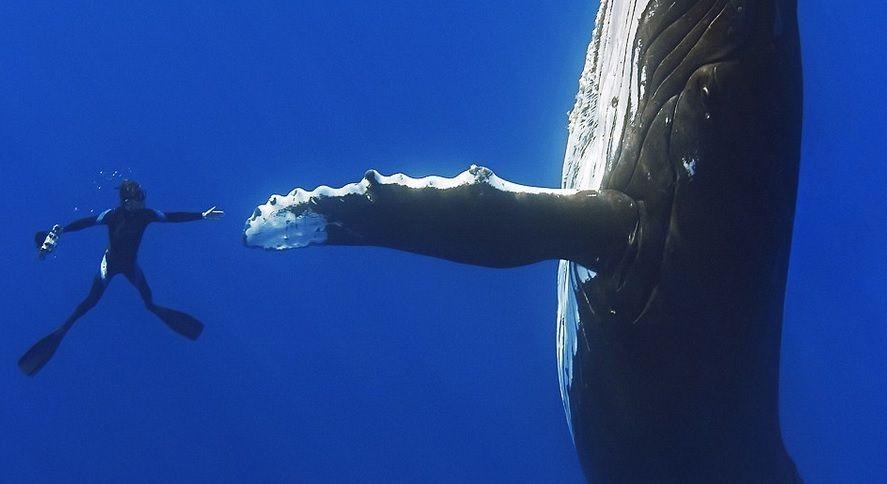 hombre nada con ballena en australia