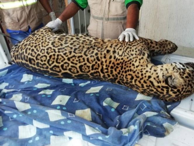 Localizan el cadáver de un jaguar cazado en una vivienda en Veracruz