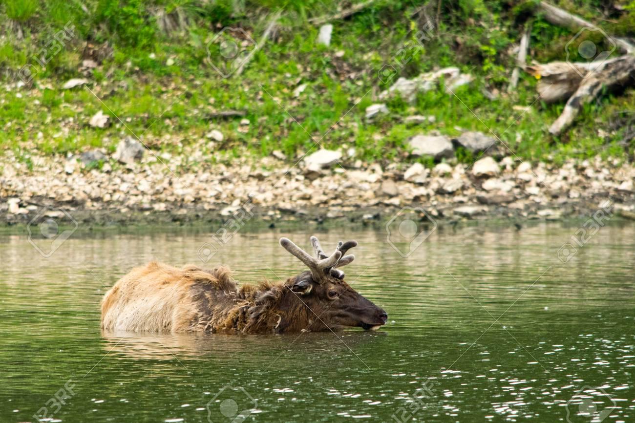 Un alce se ahogó en un lago mientras una multitud lo rodeaba para tomarle fotos