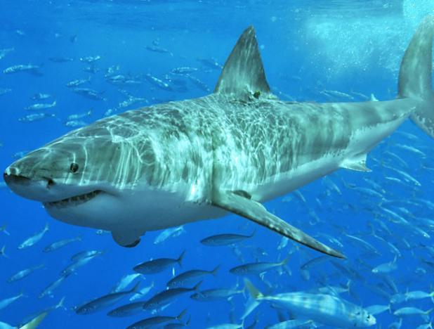 ¿Por qué los tiburones blancos están concentrados en grandes cantidades en una zona específica del Pacífico?