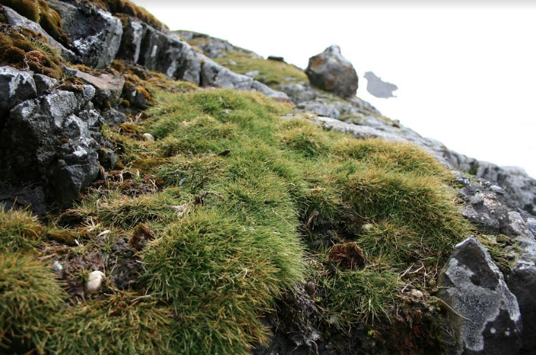 Planta antártica promete combatir el cáncer colorrectal