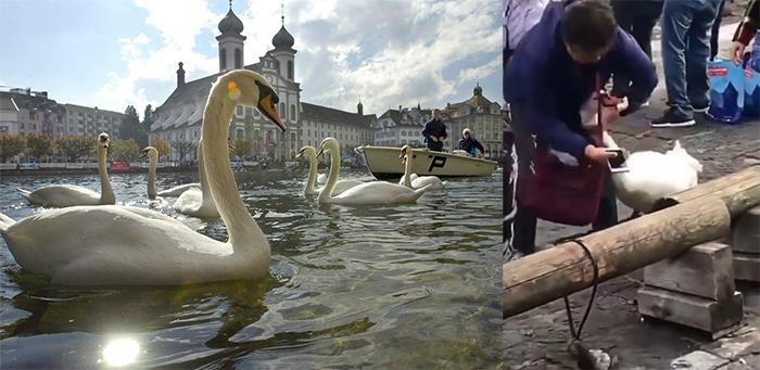 (Video) ¡Indignante! Turistas maltratan a un cisne para tomarse una «selfie»