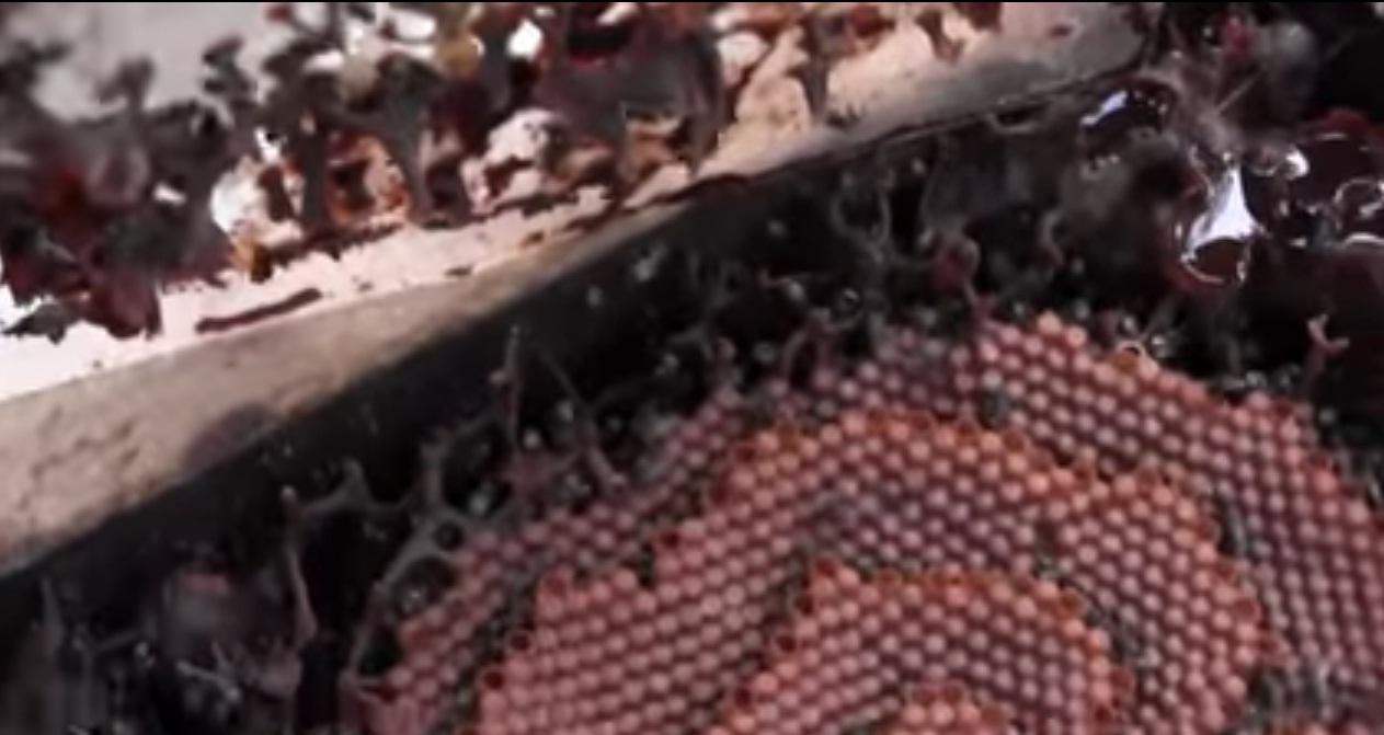 (+Video) Abejas construyen innovadoras colmenas con algoritmos indescifrables de alto rendimiento