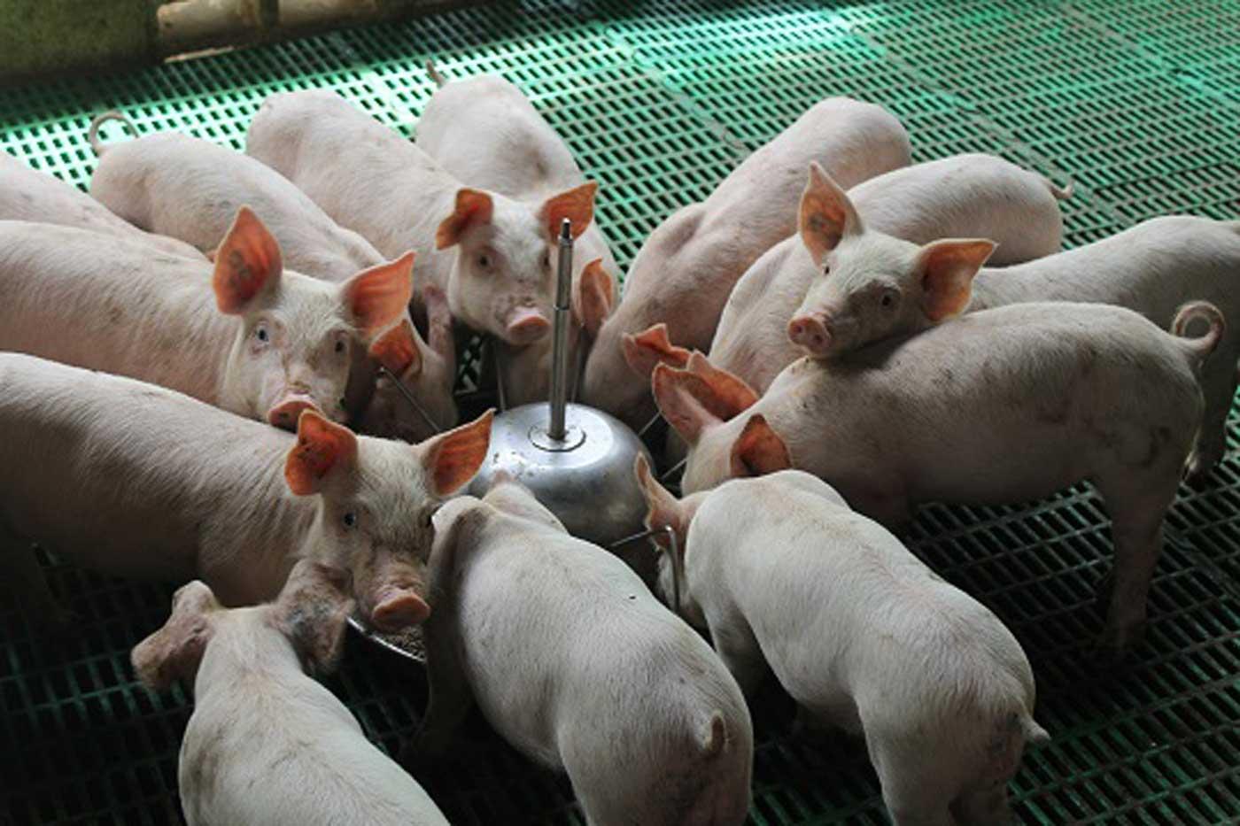 Ocho víctimas tras nuevo brote de peste porcina africana en China