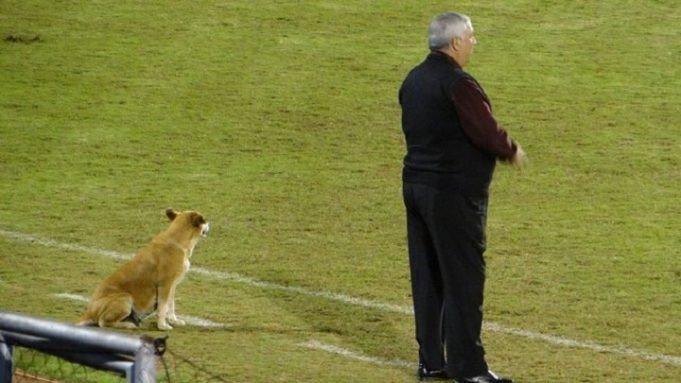 (Fotos) Tesapara, la perrita que se convirtió en asistente de un club de fútbol paraguayo