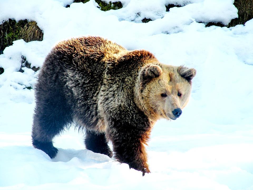 (Video) Gobernador ruso indigna a las redes al disparar a quemarropa a un oso dormido