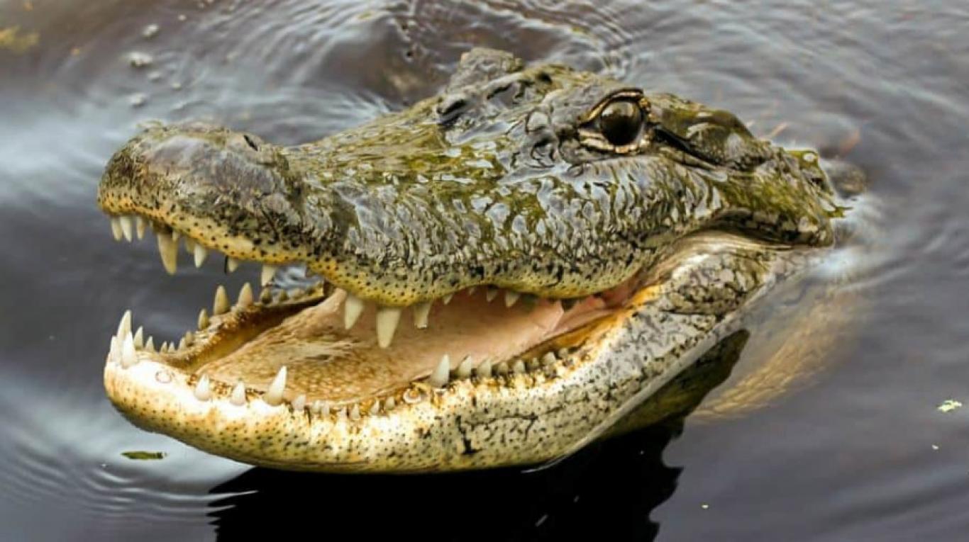 (Video) ¡Nervios de acero! Este hombre da de comer en la boca a su mascota cocodrilo