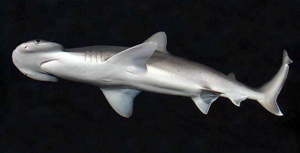En los mares existe un tiburón gigante vegetariano