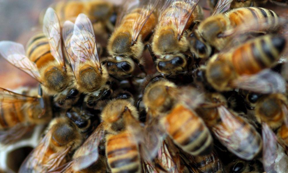 (Video) Murieron repentinamente más de siete millones de abejas en Colombia