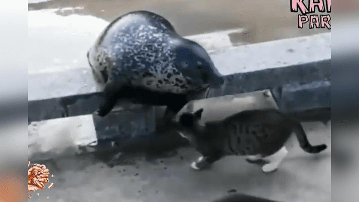 """(Video) Un gato """"asesina"""" a una foca a plena luz del día y frente a muchos testigos"""