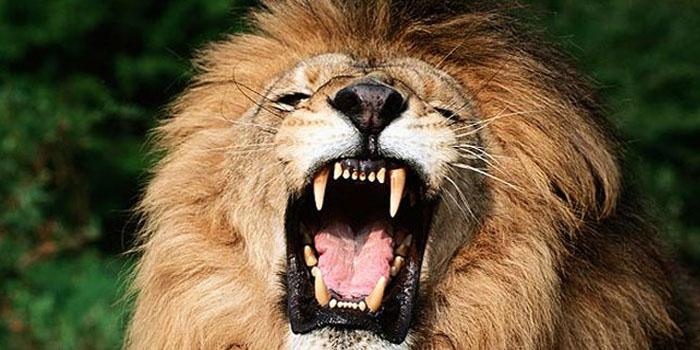 (+Video) León salvaje ataca a turistas con caricias y abrazos